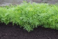 Fotografia koperkowy żniwo dla eco cookery biznesu Młode koper rośliny na kuchennym ogródzie Żywność organiczna, świeża pikantnoś Fotografia Royalty Free