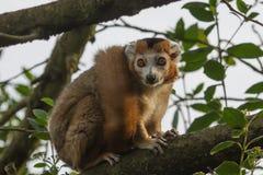 Fotografia Koronowany lemur siedząca wysokość up w drzewie Zdjęcia Royalty Free