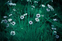 Fotografia kosmosu bipinnata Cav dzikiego kwiatu tła kontekst zdjęcia stock