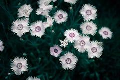 Fotografia kosmosu bipinnata Cav dzikiego kwiatu tła kontekst zdjęcia royalty free