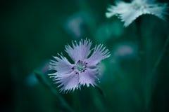 Fotografia kosmosu bipinnata Cav dzikiego kwiatu tła kontekst obraz stock