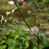 Fotografia macro da flor colorida minúscula ou do dente-de-leão da grama selvagem Copie o espaço adicionado fotografia de stock