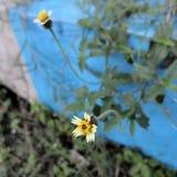 Fotografia macro da flor colorida min?scula ou do dente-de-le?o da grama selvagem Copie o espa?o adicionado fotos de stock