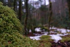 Fotografia macro da natureza de Moss Covering uma rocha nas madeiras profundas foto de stock