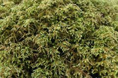 Fotografia macro da natureza do musgo e do líquene em Great Smoky Mountains imagem de stock royalty free