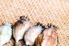Fotografia macro das cabeças da papoila e das sementes de papoila Imagens de Stock
