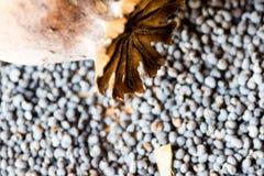 Fotografia macro das cabeças da papoila e das sementes de papoila Imagem de Stock Royalty Free