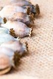 Fotografia macro das cabeças da papoila e das sementes de papoila Imagem de Stock