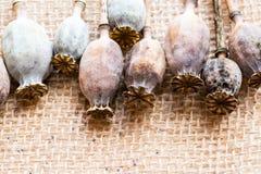 Fotografia macro das cabeças da papoila e das sementes de papoila Foto de Stock Royalty Free