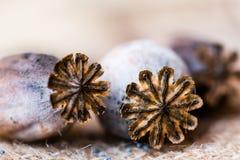 Fotografia macro das cabeças da papoila e das sementes de papoila Fotos de Stock