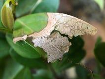 Fotografia macro das folhas rachadas secas imagem de stock royalty free