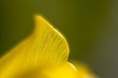 Fotografia macro das pétalas da tulipa Foto de Stock