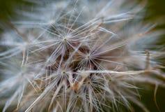 Fotografia macro de sementes de um dente-de-leão imagens de stock