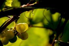 Fotografia macro de um grupo de uvas Fotografia de Stock Royalty Free