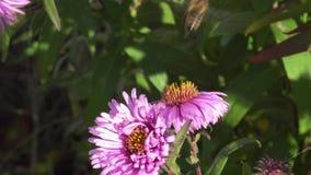 Fotografia macro de uma abelha que recolhe o p?len em uma flor filme