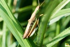 Fotografia macro do gafanhoto na folha no campo, gafanhoto um inseto planta-comer com pés traseiros longos que são usados para imagens de stock