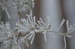 Fotografia macro florestas congeladas do pinho Fotografia de Stock