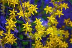 Fotografia macro um grande número flores do amarelo Fotografia de Stock