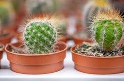 Fotografia miniaturowi doniczkowi kaktusy r w szklarni zdjęcie stock
