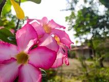 Fotografia mobile del fiore di rosa, sperante di ottenere le immagini stupefacenti con un dispositivo semplice fotografie stock libere da diritti