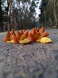 a fotografia natural da flor da beleza para todas as rosas do lírio leu o amarelo cor-de-rosa para o céu especial com rosa natura Fotografia de Stock Royalty Free
