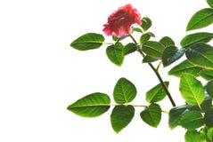 Fotografia odizolowywająca na bielu róży roślina Zdjęcia Royalty Free