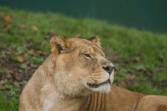 Fotografia piękna Barbary lwica Zdjęcie Stock