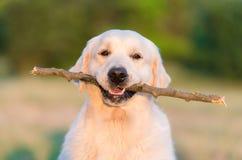 Fotografia piękna golden retriever pies Obrazy Royalty Free
