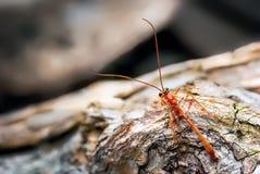 Fotografia pokazuje gąsienicznik osy Ophion luteus Ten osa był odzyskującym formą nasz ćma set i oklepiec swobodnie Wciąż troszkę zdjęcie stock