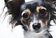 Fotografia portret odizolowywający na białym tle psia twarz Fotografia Stock