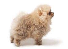 Fotografia profilowa spitz psa pozycja odizolowywająca na białym tle Fotografia Royalty Free