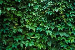 Fotografia przyschnięta ściana przerastająca z liśćmi i bluszczem obrazy royalty free