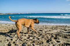 Fotografia psi bieg wzdłuż plaży w Menorca zdjęcia stock