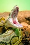 Fotografia pytonu ziewania węża terrarium fotografia royalty free