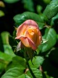Fotografia różowa pomarańcze róża na zielonym ulistnienia tle Fotografia Stock