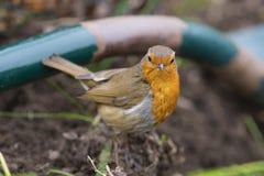 Fotografia rossa del seno di Robin dell'europeo fotografia stock