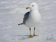 Seagull Kroczy dumnie Na śniegu Zdjęcie Royalty Free