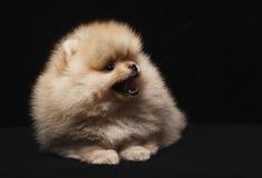 Fotografia spitz psa obsiadanie i przyglądający up odizolowywający na czarnym tle Obrazy Stock