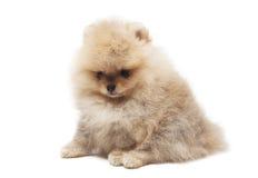 Fotografia spitz psa obsiadanie odizolowywający na białym tle Zdjęcie Stock