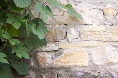 Fotografia stary ściana z cegieł i winogrono leafs tło zdjęcie royalty free