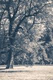 fotografia stary rocznik Parkowa lasowych drzew bagażników halizna Obraz Royalty Free