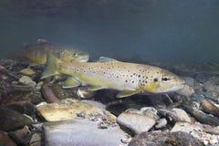 Fotografia subaquática do trutta do Salmo da truta de Brown Imagem de Stock Royalty Free