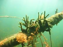 Fotografia subaquática dos lacustris de água doce de Spongilla da esponja imagens de stock