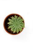Fotografia succulente del fiore su fondo bianco Fotografia Stock Libera da Diritti