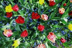 Fotografia superior do tiro de tulipas coloridas fotos de stock