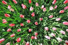 Fotografia superior do tiro de tulipas cor-de-rosa imagens de stock