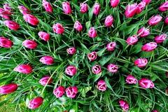 Fotografia superior do tiro de tulipas cor-de-rosa escuras imagem de stock