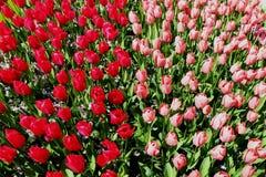 Fotografia superior do tiro de tulipas vermelhas e cor-de-rosa fotos de stock royalty free