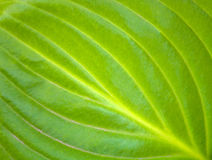 Fotografia tekstura duży zielony liść w ogródzie Zdjęcia Royalty Free