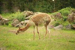 Fotografia vicuña łasowania trawa (vicugna) Zdjęcie Royalty Free